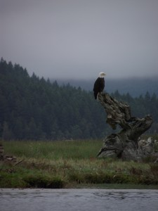 American Bald Eagle at the Dosewallips Estuary.