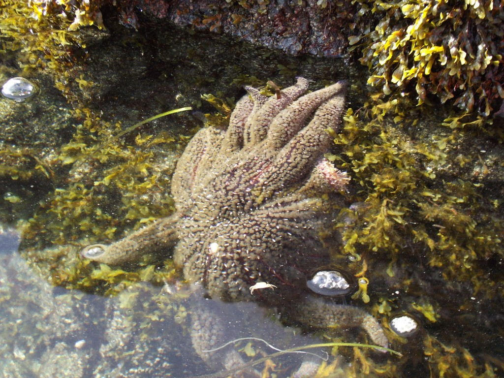 Sunflower star on the rocky shore of Puali Point.