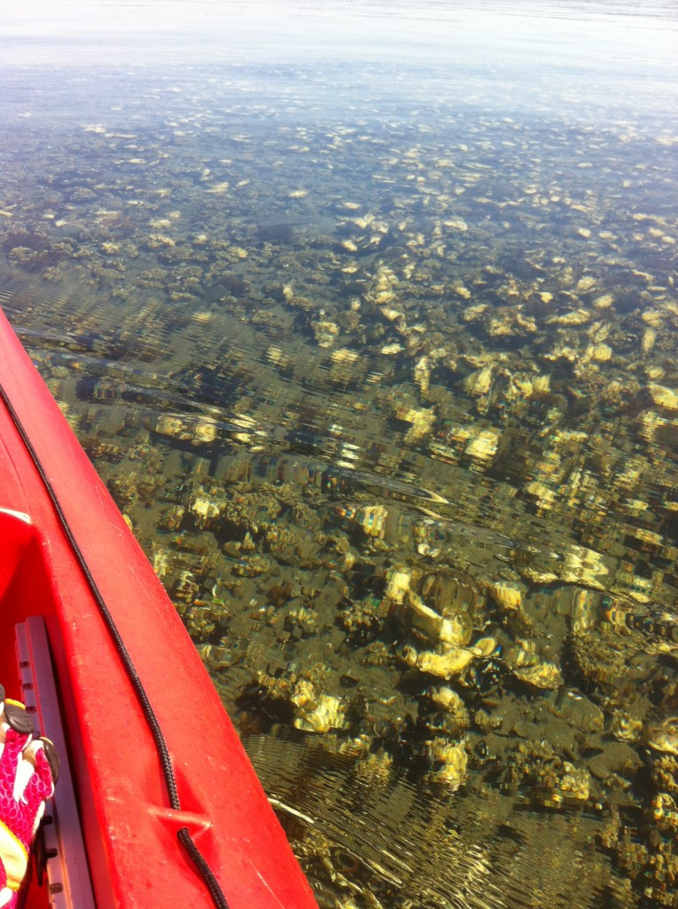 Water visibility is so great in our river estuaries that you can see the oysters below your kayak!